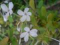 瑠璃茉莉 白花