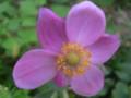 原種 秋明菊