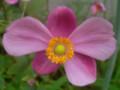 変種 秋明菊