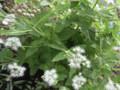 アゲラタム白花