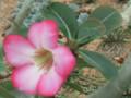 砂漠の薔薇