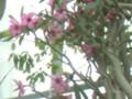 砂漠の薔薇-2