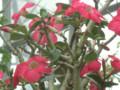 砂漠の薔薇-3