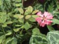 熱帯シャクナゲ-2