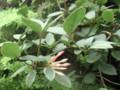 熱帯シャクナゲ-3