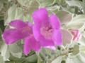 frutescens