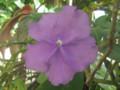 pauciflora