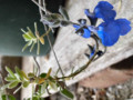 chamaedryoides