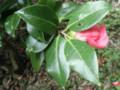 Miyobeni