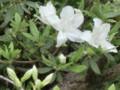 Shirobanaooyamatutuji