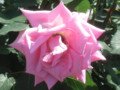 'Princess Margaret'