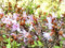 serpyllifolium