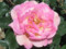 'Princess Margaret Rose'