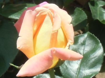 'Princess Margaret Rose'