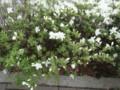 mucronatum