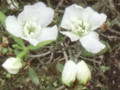 Shiromanyo