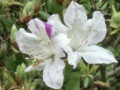 Ryukyushibori