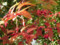 Autumnale
