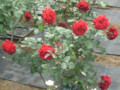 'Red Queen'