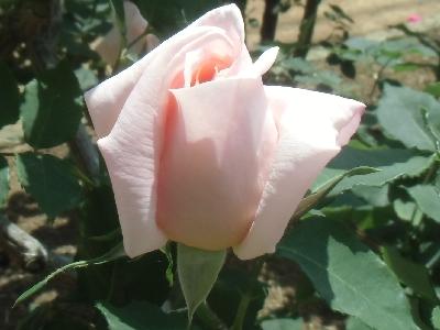 'Regina Pacis'