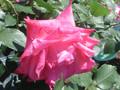 'Rosy Crystal'