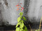 gesneriiflora