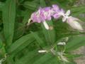 leucantha