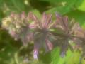yunnanensis