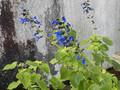 'Costa Rica blue'