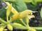 'Yellow Majesty'