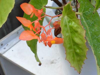'Orange Rubra'