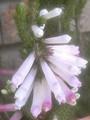 'White Delight'
