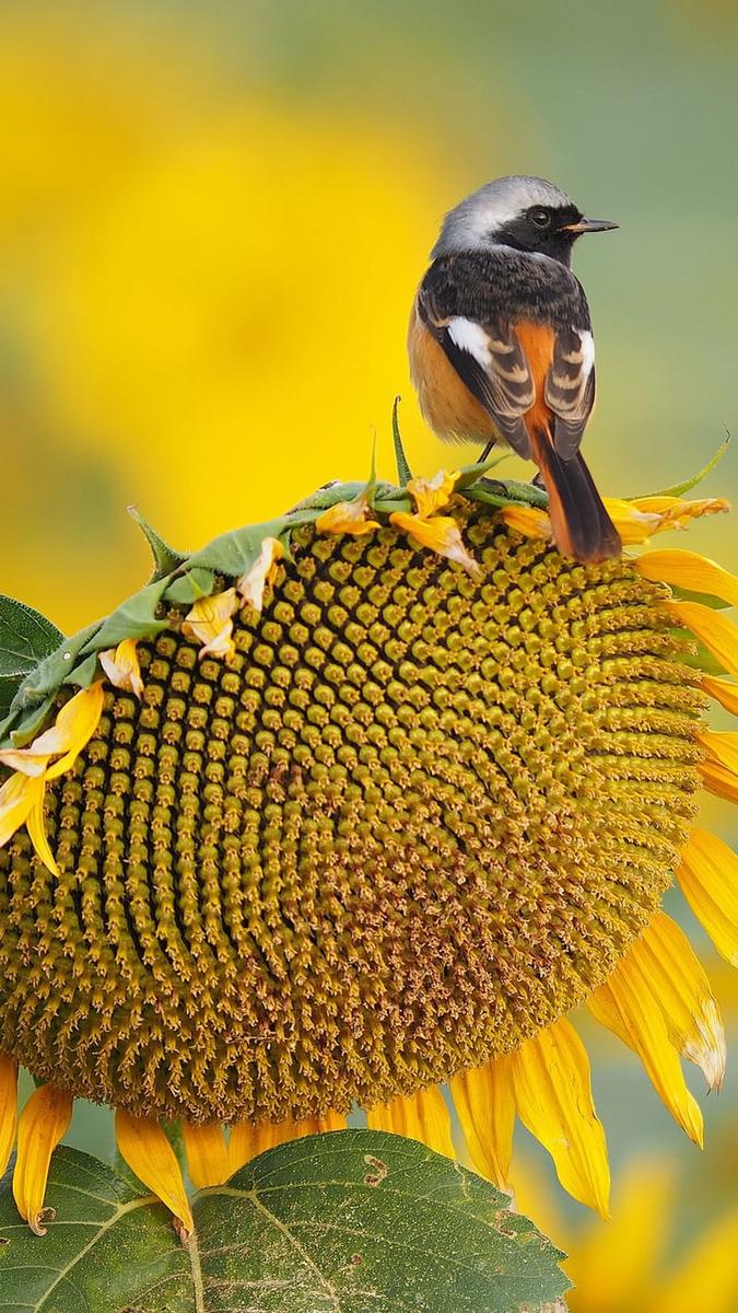 ひまわり鳥の夏iPhone壁紙