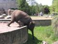 お腹が減って無理して草を食べる象