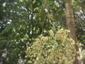 自然乾燥で枝ごとハーブティーに・・・?