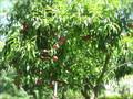 桃、ぶどう、りんごがたくさんなってました