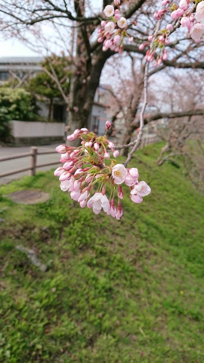 穴場スポット『新屋桜公園 さくらまつり』