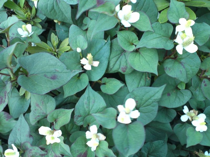 花 雑草 白い