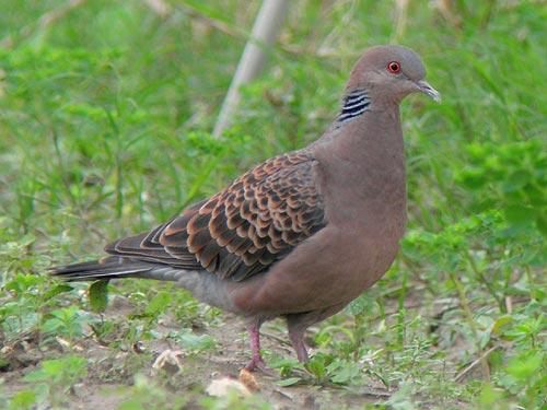 鳩に関するエトセトラ - 優しい唄歌い
