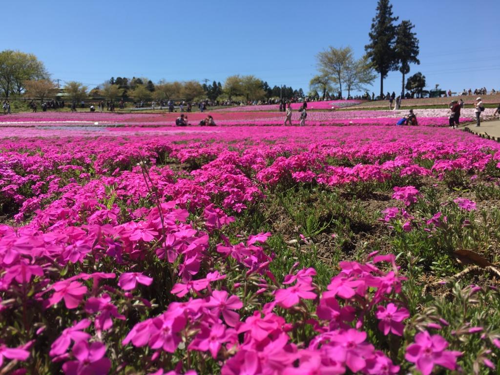 羊山公園の芝桜(中央付近)