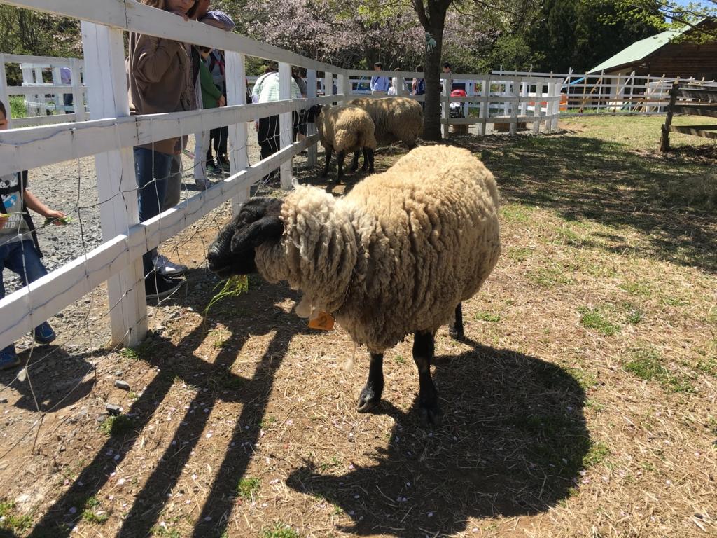 餌付けされる羊