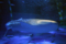 ジンベエザメ(能登島水族館)