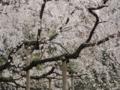 六義園(駒込)の枝垂れ桜-13.03-