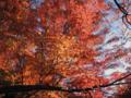紅葉(高尾山)