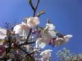 仙寿院の桜(釜石市)-14.04-