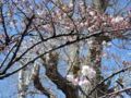 仙寿院の桜(釜石)-1-14.04