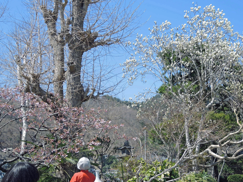 仙寿院(釜石)桜とコブシ-1-14.04