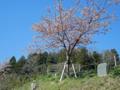 桜ライン311(陸前高田浄土寺)-2-14.04
