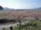 桜ライン311(陸前高田浄土寺)-1-14.04