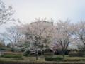 松川浦・桜-1-14.04